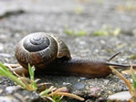 Copse Snail (Arianta arbustorum)